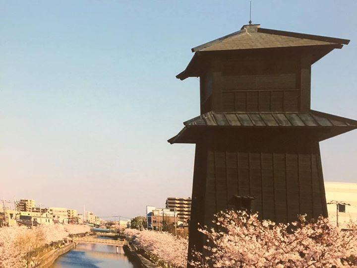 江戸川の桜2